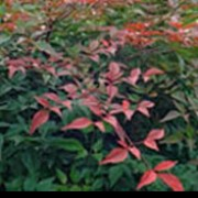 'Richmond' is a vigorous mid-sized, evergreen shrub.  It has fresh-green, lance-shaped leaves that turn red in autumn.  In summer, it has panicles of white flowers, followed by bright-red berries in winter. Nandina domestica 'Richmond' added by Shoot)
