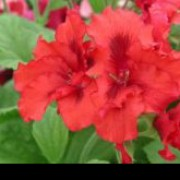 'Bushfire' is a tender evergreen perennial with soft, rounded leaves and clusters of scarlet flowers whose petals have a darker red splodge. Pelargonium 'Bushfire' added by Shoot)