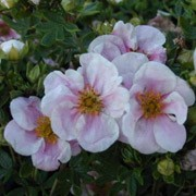 'Pretty Polly' is a small, dense deciduous shrub with divided, fresh-green leaves.  Throughout summer, it bears salmon-pink, salver-shaped flowers. Potentilla fruticosa 'Pretty Polly' added by Shoot)