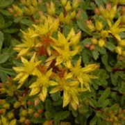 'Weihenstephaner Gold' is a low-growing, semi-evergreen perennial with rosettes of mid-green, obovate leaves with wavy margins.  In summer, it bears yellow, star-shaped flowers. Sedum kamtschaticum var floriferum 'Weihenstephaner Gold' added by Shoot)