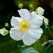 (15/02/2017) Carpenteria californica added by Shoot)