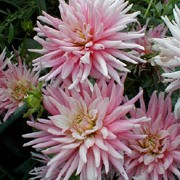'Park Princess' is a semi-cactus dahlia.  It is a compact plant with divided, dark-green leaves.  In late summer and early autumn, it has pink flowers, flushed yellow at the centre. Dahlia 'Park Princess' added by Shoot)