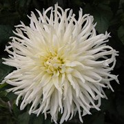 'White Star' is a semi-cactus dahlia.  It has divided, dark-green leaves and in late summer to mid-autumn, bears creamy-white flowers that are slightly darker at the centre. Dahlia 'White Star' added by Shoot)