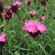 Dianthus carthusianorum added by Shoot)