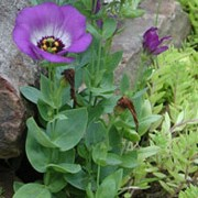 Eustoma grandiflorum added by Shoot)