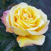 Benson and Hedges Gold is a patio rose.  It has fragrant golden yellow flowers, sometimes flushed red in summer and autumn. Rosa Benson and Hedges Gold added by Shoot)