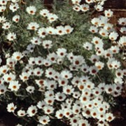 'African Eyes' is a low-growing, spreading, evergreen perennial.  It has finely divided, silvery leaves and from early spring to early autumn, bears creamy-white, daisy-like flowers with dark centres. Rhodanthemum 'African Eyes' added by Shoot)