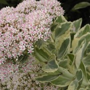 'Frosty Morn' is an herbaceous perennial with stout stems clothed with succulent, elliptic, grey-green leaves with white margins.  In late summer to early autumn, it bears terminal heads of tiny pale pink flowers. Sedum erythrostictum 'Frosty Morn' added by Shoot)