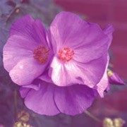 Abutilon X Suntense Jermyns Care Plant Varieties Pruning Advice
