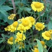 'Charme' is a mound-forming perennial with finely cut leaves with small bright yellow flowers in summer. Anthemis tinctoria 'Charme'  added by Shoot)
