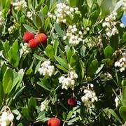 'Compacta' is a large evergreen bush with oval leaves and peeling bark.  In autumn, contorted branches bear masses of white flowers followed by bright red strawberry-like fruit. Arbutus unedo 'Compacta' added by Shoot)