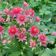 Aquilegia 'Clementine Red' (Clementine Series)