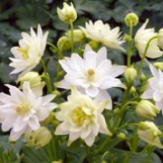 'Clementine White' is a short, bushy, compact plant with divided, blue-green clover-shaped leaves.  White flowers are borne on sturdy stems in spring and early summer. Aquilegia 'Clementine White' added by Shoot)