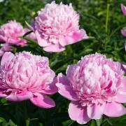 (11/01/2018) Paeonia lactiflora 'Sarah Bernhardt' added by Shoot)