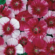Dianthus x chinensis 'Corona Cherry Magic'
