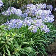 'Headbourne Hybrids' are hardy, upright perennials with rounded heads of deep blue, pale blue or white trumpet-shaped flowers that rise above green strappy leaves in late summer. Agapanthus 'Headbourne Hybrids' added by Shoot)