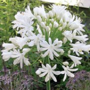 'White Heaven' is an upright perennial with green strap-like leaves surrounding erect stems topped with white trumpet-shaped blooms in summer to early autumn.