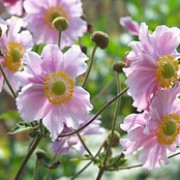 'Robustissima' is a clump-forming, herbaceous perennial with lobed green leaves and erect reddish-purple stems. It flowers in late summer until autumn with pale pink flowers with yellow centres. Anemone tomentosa 'Robustissima' added by Shoot)