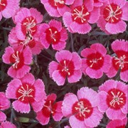 'India Star' is a small cushion-forming perennial with linear, grey-green evergreen leaves and deep rose-pink flowers in summer and early autumn.