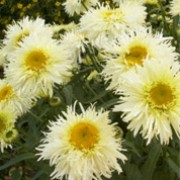 'Goldrausch'  is an herbaceous perennial with dark-green, glossy, oblong leaves.  Throughout summer it bears semi-double, white, daisy-like flowers with yellow centres. Leucanthemum × superbum 'Goldrausch'  added by Shoot)