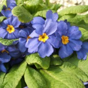 'True Blue' is an herbaceous perennial with deeply veined, oblong leaves.  In spring, it bears many bright-blue, salver-shaped flowers with bright yellow centres. Primula 'True Blue' added by Shoot)