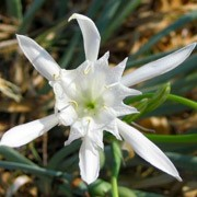 Pancratium maritimum added by Shoot)