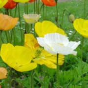 'Wonderland' is a compact perennial with short, upright stems and large papery flowers throughout summer in shades of yellow, orange and white. Papaver nudicaule 'Wonderland' added by Shoot)