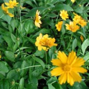 'Nana' is an evergreen, creeping, herbaceous perennial with green foliage and yellow flowers from spring to mid-summer.  Coreopsis auriculata 'Nana' added by Shoot)