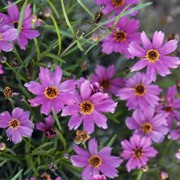 'Limerock Passion' is a mounded herbaceous perennial with dark green foliage and lavender-pink flowers with yellow centres blooming from summer into fall. Coreopsis 'Limerock Passion' added by Shoot)