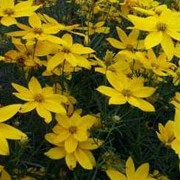 'Golden Gain' is a compact herbeceous perennial with airy, thread-leaf, green leaves and yellow flowers with darker yellow centres form late spring to late summer. Coreopsis verticillata 'Golden Gain' added by Shoot)