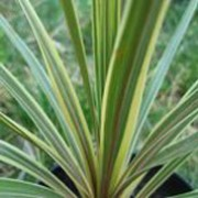 'Sparkler' is a is a spiky formed perennial that starts with long, graceful, sword shaped leaves that are green with cream stripes and margins, growing into a tree form with time.  Cordyline 'Sparkler' added by Shoot)