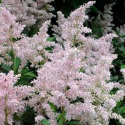 'Erika' is a tall, spreading perennial with finely divided, dark green leaves that open burgundy-red in spring and  panicles of pink flowers in summer. Astilbe x arendsii 'Erika' added by Shoot)
