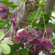 Akebia quinata added by Shoot)