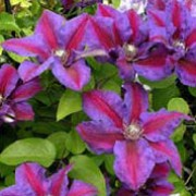'Mrs N. Thompson' is a deciduous, climbing perennial with green leaves and bluish-purple flowers with fuchsia stripes appearing in late spring to early summer and is often followed by a second show in late summer. Clematis 'Mrs N. Thompson' added by Shoot)