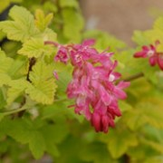 'Brocklebankii' is an upright, deciuous shrub with small golden-yellow, lobed leaves.  In spring, it bears pendant racemes of rose-pink flowers, followed by black berries in summer. Ribes sanguineum 'Brocklebankii' added by Shoot)