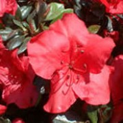 'Johanna' is a compact, evergreen shrub with small, glossy, dark green leaves and carmine-red flowers in late spring. Rhododendron 'Johanna' added by Shoot)