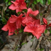 'Marilee' is a compact, spreading, evergreen shrub with dark bronze-green leaves and red, fluted flowers in early summer. Rhododendron 'Marilee' added by Shoot)