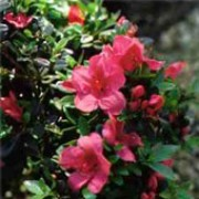 'Mother's Day' is a low, spreading, evergreen shrub with glossy, dark green leaves and large, crimson, semi-double flowers in mid-spring Rhododendron 'Mother's Day' added by Shoot)