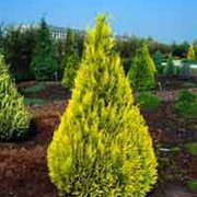 'Ivonne' is a medium sized evergreen, coniferous tree that has a conical form with golden yellow foliage. Chamaecyparis lawsoniana 'Ivonne' added by Shoot)