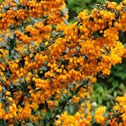 'Apricot Queen' is an upright, arching, evergreen shrub with glossy, dark green leaves, racemes of apricot-orange flowers in spring and deep purple fruit in autumn. Berberis x lologensis 'Apricot Queen' added by Shoot)