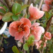 'Madame Butterfly' is a medium spreading shrub with glossy, dark green leaves and salmon-pink and white flowers with yellow centres that blooms in late winter to early spring, followed by golden-yellow fruit. Chaenomeles speciosa 'Madame Butterfly' added by Shoot)