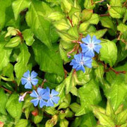 Ceratostigma willmottianum 'Forest Blue'