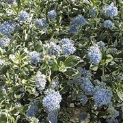 'Silver Surprise' is an evergreen, low growing shrub with striking, creamy-white,  irregular variegation along the margins of the green,  glossy leaves and is covered in masses of pale blue flowers in late spring. Ceanothus griseus horizontalis 'Silver Surprise' added by Shoot)