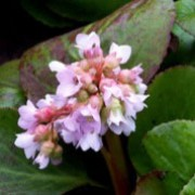 'Baby Doll' is a clump-forming, evergreen perennial with medium-sized, smooth, round leaves and pale pink flowers in spring. Bergenia 'Baby Doll' added by Shoot)