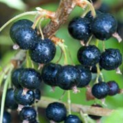 'Ben Nevis' is an upright, vigorous, deciduous shrub grown for culinary or dessert use. Heavy crops of black fruit form from insignificant flowers in mid to late summer.