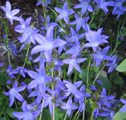 Campanula poscharskyana 'Blue Waterfall'