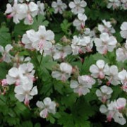 'Biokovo' is an evergreen, clump-forming perennial that has green, aromatic foliage that takes on red and yellow colours in autumn with nodding white flowers that are flushed pink from late spring to late summer. Geranium cantabrigiense 'Biokovo'       added by Shoot)
