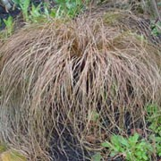 'Bronze' is a perennial sedge that forms a dense tuft of graceful, arching, bronze foliage, with inconspicuous brown flower spikes. Carex comans 'Bronze'  added by Shoot)