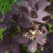 'Velvet Cloak' is a large, bushy, deciduous shrub with round, dark purple leaves that turn red in autumn and panicles of pale purple-pink flowers in midsummer. Cotinus coggygria 'Velvet Cloak' added by Shoot)
