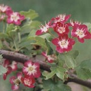 'Crimson Cloud' is a deciduous tree with glossy, mid-green leaves and large, bright red flowers with white centres in spring. Crataegus laevigata 'Crimson Cloud' added by Shoot)